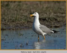 yellow-legged-gull-24.jpg