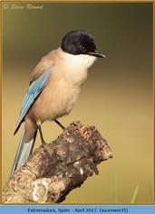 azure-winged-magpie-35.jpg