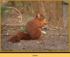red-squirrel-07.jpg