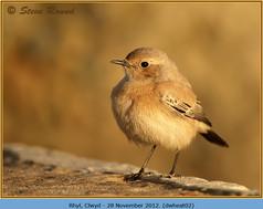 desert-wheatear-02.jpg