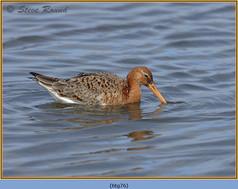 black-tailed-godwit- 76.jpg