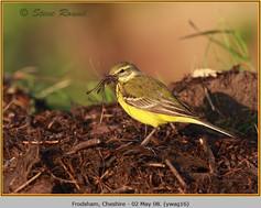 yellow-wagtail-16.jpg