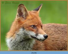 fox-58.jpg