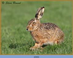 brown-hare-83.jpg