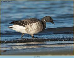 brent-goose-37.jpg