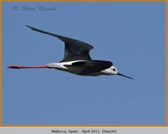 black-winged-stilt-36.jpg