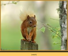 red-squirrel-25.jpg