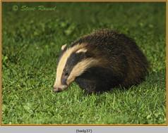 badger-37.jpg