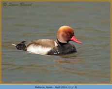 red-crested-pochard-13.jpg