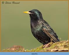 starling-45.jpg
