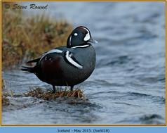 harlequin-duck-18.jpg
