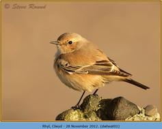desert-wheatear-01.jpg