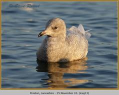 iceland-gull-13.jpg