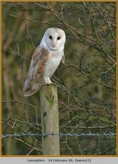 barn-owl-11.jpg