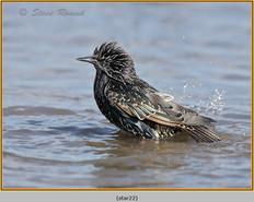 starling-22.jpg