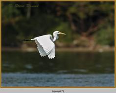 great-white-egret-27.jpg