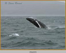 humpback-whale-03.jpg
