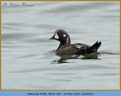 harlequin-duck-05.jpg