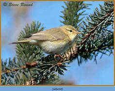 willow-warbler-54.jpg