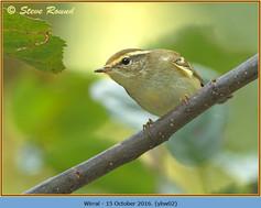 yellow-browed-warbler-02.jpg