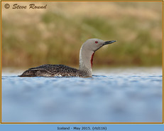 red-throated-diver-116.jpg