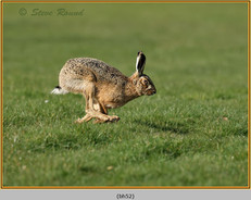 brown-hare-52.jpg