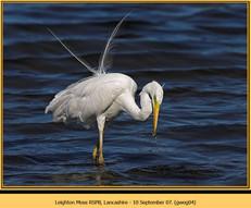 great-white-egret-04.jpg