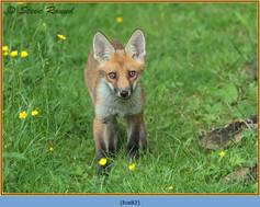 fox-82.jpg