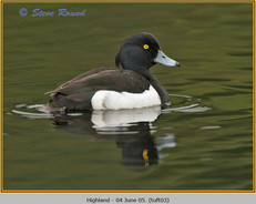 tufted-duck-03.jpg