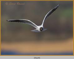 black-headed-gull-18.jpg
