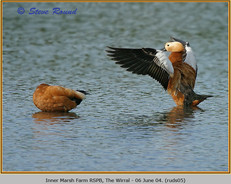 ruddy-shelduck-05.jpg