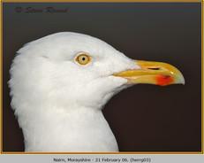 herring-gull-03.jpg