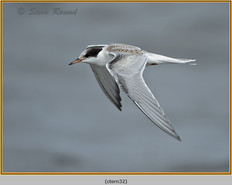 common-tern-32.jpg
