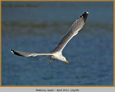 yellow-legged-gull-38.jpg