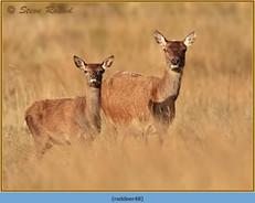 red-deer-48.jpg