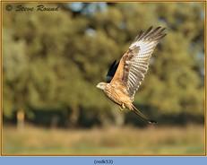 red-kite-53.jpg