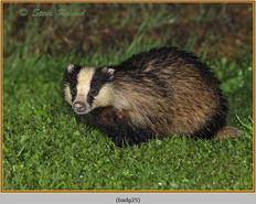 badger-25.jpg