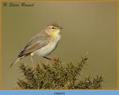 willow-warbler-43.jpg