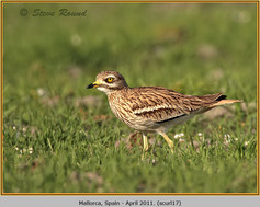 stone-curlew-17.jpg