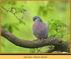 stock-dove-05.jpg