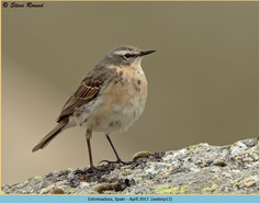 water-pipit-13.jpg