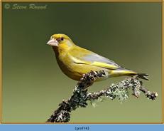 greenfinch-74.jpg