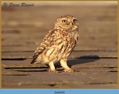 little-owl-30.jpg