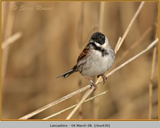 reed-bunting-30.jpg
