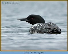 great-northern-diver-30.jpg