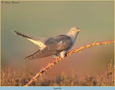 cuckoo-145.jpg