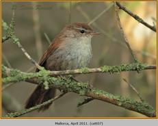 cettis-warbler-07.jpg