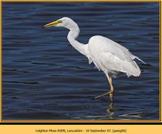 great-white-egret-06.jpg