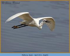 little-egret-60.jpg