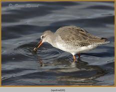 spotted-redshank-20.jpg